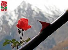 Бодлите на розата
